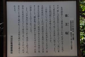 Konousakura2
