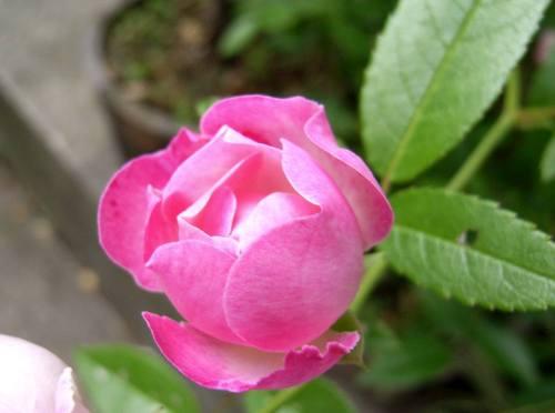 Rojiurahana1