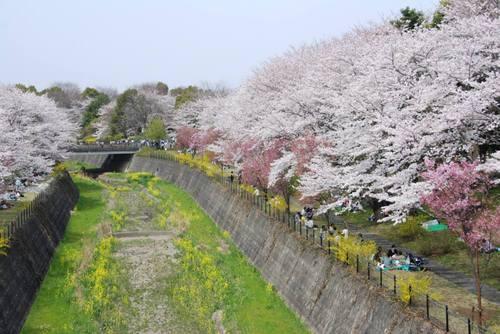 Sakura8_1